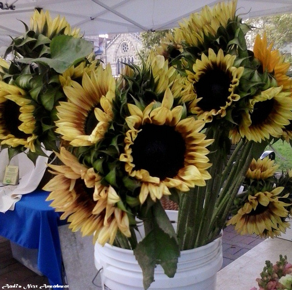 Copley Square Farmers market sunflowers