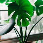 Saturdays in the Park: Win a Monstera Plant!