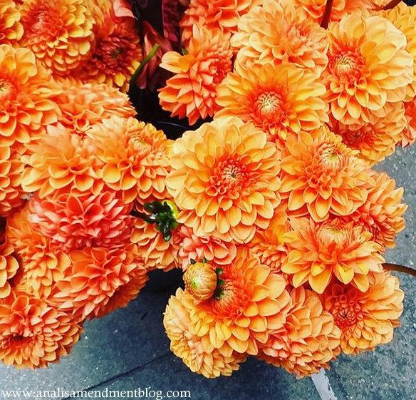 Orange dahlias in August